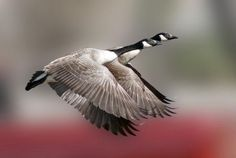 Photo: KeithCanada Geese    Birds in flight are one of nature's most  amazing wonders.