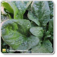 Spinach - growing Spinach - how to grow Spinach