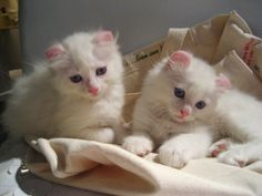 American Curl Kittens Available - Kittens for Sale or Adoption New York City