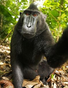 Who Owns The Monkey Selfie? A Lawyer Weighs In.