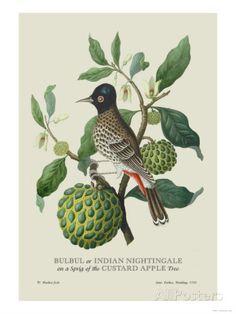 """Bulbul Or Indian Nightingale"" Print (Unframed Paper Poster Giclee Indian Artist, Science Art, Botanical Art, Botanical Illustration, Wonderful Images, Art Reproductions, Find Art, Green And Grey, Vintage Art"