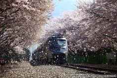 Kyeong-Wha Station, Jinhae (진해 경화역)  This small whistle-stop bustles with tourists and amateur photographers every spring.   Cherry blossoms rain down on the train track and countless shutters click madly away as the train approaches the station under the cherry blossom tunnel. The cherry blossom road at Yeojwa stream (http://travel.cnn.com/seoul/visit/50-beautiful-places-visit-korea-873093)