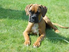 Boxer-Baby Sophy
