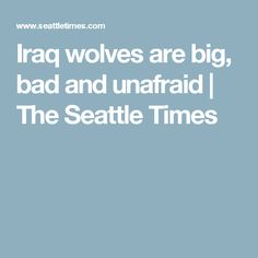 Iraq wolves are big, bad and unafraid | The Seattle Times
