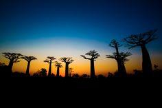 Avenue of the Baobabs  Morondava, Madagascar