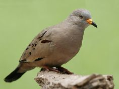 Croaking Ground Dove (Columbina cruziana) Chile, Ecuador and Peru