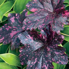 Midnight Rose Coral Bells The most exciting new Heuchera to come along in many seasons these blooms are so heat and humidity tolerant theyll keep bright even in the dog d. Shade Perennials, Shade Plants, Bell Gardens, Coral Bells, Heuchera, Bulb Flowers, Garden Gifts, Summer Flowers, Shade Garden
