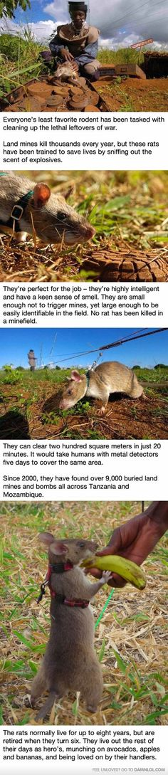 These Rats In Africa Are Saving Tons Of Lives