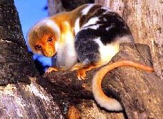 Cuscus Facts, Information, Pictures and Videos African Animals - WILDLIFEPLANET.NET