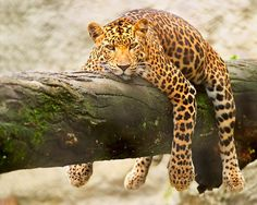 Known as Onça here, the jaguar is an endangerous species. Each animal needs a perimeter of 140km, which is quite a lot. Found more in the north. The best way to spot one is during dry season (peak July-September) navigating thru the rivers (while they are drinking water or even hunting)