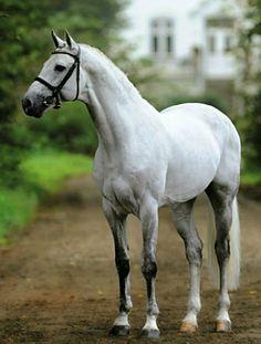 Holsteiner stallion Cachas.