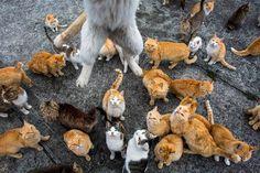 A ilha de Aoshima, no sul do Japão, tem um fato curioso. O local, a 30 minutos de barco da província de Ehime, é dominado por gatos, com uma população de felinos seis vezes maior do que a de humanos.