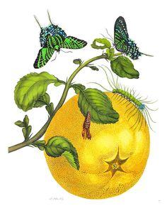 Maria Sibylla Merian, Metamorphosis Insectorum Surinamensium, Plate 29. Grapefruit (Citrus maxima) with Blue Urania Leilus moth