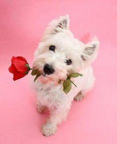Valentine Westie Puppy Dog Dogs Puppies West Highland White Terrier