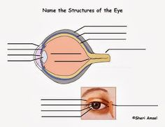 The BioLogs: CSEC - The Eye - functions of the various parts Eye Function, Parts Of The Eye, Optic Nerve, The Retina, Homeschool, Eyes, Humor, Homeschooling