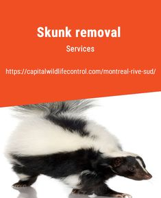 Capital Wildlife Control have years of experience in animal pest management, including skunk removal in Beloeil, Boucherville, Brossard, Longueuil. Skunk Removal, Skunk Spray, Peaceful Life, Removal Services, Montreal, Wildlife, Skunks, How To Remove, Pets
