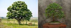 Adoro. Bonsai Ficus, Plants, Plant, Planets