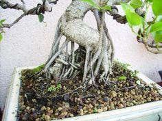 Ficus, Murcia, Go Green, Terrarium, Orchids, Garden Sculpture, Succulents, Outdoor Decor, Plants