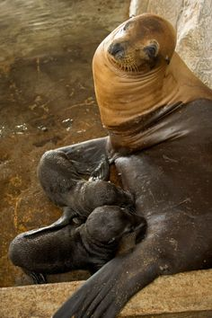Twins sea lions born at SeaWorld Orlando for the first time in history. Mother named Fable. She was born there too.