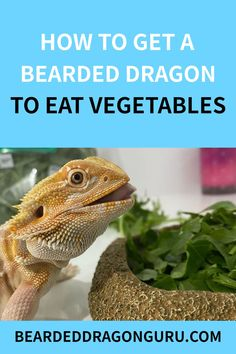 Getting your bearded dragon to eat its vegetables can be tricky sometimes. Vegetables may not be your bearded dragon's favourite food, however, they are important to its health.It's no secret that bearded dragons can be very picky when it comes to eating.Although at times it can be difficult, here are some ways to help encourage your dragon to eat its vegetables. #beardeddragondiet #beardeddragoncare   photo credit: @freddythedragon Bearded Dragon Heat Lamp, Bearded Dragon Substrate, Bearded Dragon Food List, Bearded Dragon Habitat, Bearded Dragon Supplies, Lizard Habitat, Pet Lizards, Teeth Care, Funny Design