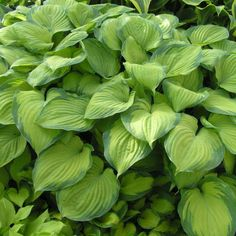 Hosta 'Guacamole' is a majestic variety that suits its name thanks to the avocado green leaves that are deeply veined and carry a deeper green margin. Hosta Plants, All Plants, Live Plants, Garden Plants, Perennial Plant, Landscaping Plants, Lavender Flowers, White Flowers, Hosta Guacamole