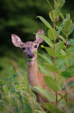 Munching deer at Innsbrook.