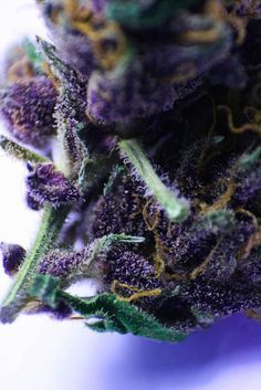::Trichome::Purp Skurp::dank::ganja::Mary Jane::Purple Weed::Kush::reefer::420:: cannabis::chronic::pot::grass::0 deaths:: stress relief::blow trees::NoEllie0123