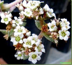 Crassula capitella ssp thyrsiflora - Foto Fiori