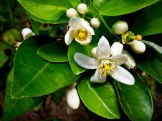 Flor de Azahar, Naranja