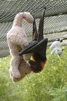 Fruit bat with his stuffed animals.