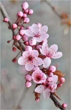 Cherry blossom tree wallpaper spring 55 ideas for 2019 - Blumen Cherry Flower, Cherry Blossom Tree, Blossom Trees, Japanese Cherry Blossoms, Cherry Blossom Painting, Cherry Blossom Tattoos, Cherry Cherry, Flower Blossom, Cherry Tree