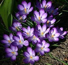 Saffron Flower, Spring, Flowers, Plants, Dyes, Planting Bulbs, Daffodils, Wonderful Flowers, Shade Perennials