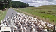 #sheepoftheweek - Twitter Search