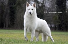 berger blanc suisse - What a beautiful dog breed!