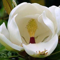 Flores blancas- magnolia