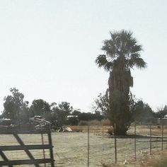 That's one strange looking #palmtree in the #maricopa #arizona #desert. #travelmemories #arizonadesert #debbieelicksen #desertlife #canadianinarizona #travel #palmtreesofinstagram