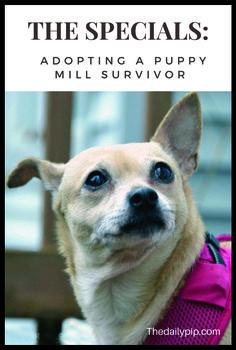 Rescuing and adopting a chihuahua puppy mill survivor