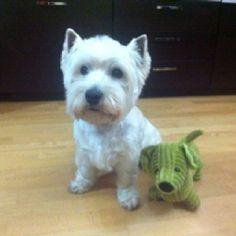Kenzo, my Westy (West Highland White Terrier)