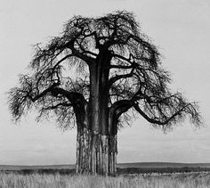 The baobab is Africa's tree, found in 31 African countries. A specimen in Namibia is 36m in diameter—one of the fattest trees in the world, in one of its driest places. There is mystery around the baobab - it has no tree rings. | Photo by Herb Ritts - Giant Baobab 1993, base stripped by elephants.