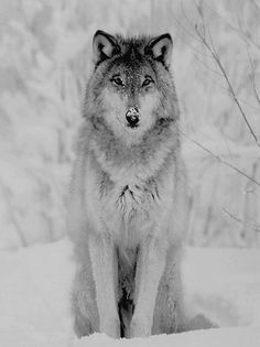 wolf in the snow perf. Beautiful Creatures, Animals Beautiful, Cute Animals, Husky, Wolf Spirit, Spirit Animal, Malamute, Wolf World, Timberwolf