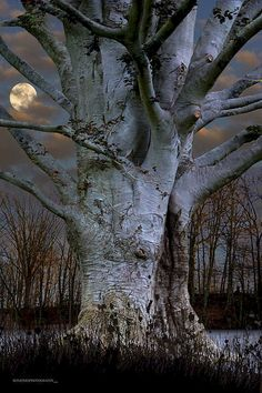 Big old tree by moonlight