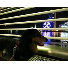 (火)夜遅くから、週末まで、雨予報が続くそうなので、23:00雨雲が、すぐそこまで来てるのですが、おーちゃんと神戸港に行きました⚓🚢✨ #おーちゃんです(´▽`)#dog#miniaturedachshund #KOBEHARBORLAND#kobe_port#harborview#ferris_wheel#how_lovely#MOSAIC #concerto#the_old_kobe_harbor_shignal_tower #神戸#神戸ハーバーランド#神戸港#夜景#観覧車#コンチェルト#神戸港旧信号所#中突堤遊歩道#ミニチュアダックス#ブラックタン#愛犬#ペット#わんこ#可愛い