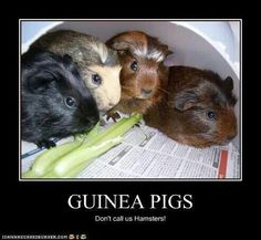 #GuineaPigs. Not hamsters.