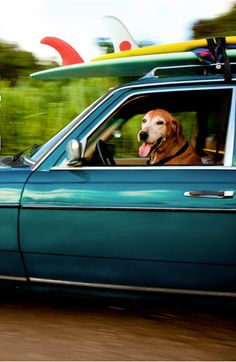 Surf's up, got to get to the beach! Follow RUSHWORLD! We're on the hunt for everything you'll love! #DogsDrivingCars