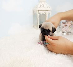Adorable Mr. Brodie ~ Gorgeous Micro Teacup Pug Male Available!