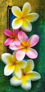 Plumeria. Plumeria, which is a native to Brazil, Caribbean and Central America, comes in several varieties. It belongs to the dogbane family, Apocynaceae and is known for its mesmerizing scent and beauty. Plumeria has medium size flowers which come in a variety of vibrant colors like pink, red, yellow and more.