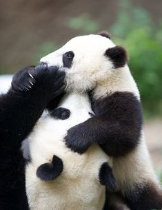 Lets get ready to rumble! Bai Yun & Mr. Wu wrestle for the title of cutest bear alive.