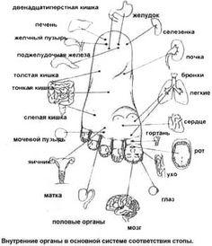 су-джок точки органов на стопе