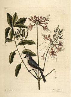 Rhododendron viscosum (L.) Torr. Swamp Azalea, Swamp Honeysuckle Catesby Volume I plate 57
