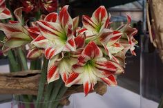 Royal Colors wish you all a wonderful day!  #flowergarden #flowers #amaryllis #bulbs #gardening